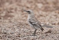 San Cristobal Mockingbird (Nesomimus melanotis) photo