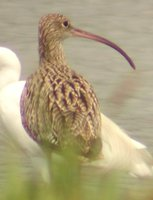 Far Eastern Curlew - Numenius madagascariensis