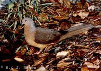 Brown Cuckoo-Dove - Macropygia phasianella