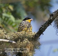 Swallow-tailed Cotinga - Phibalura flavirostris