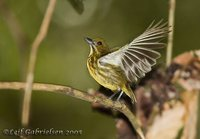 Yellow-breasted Flowerpecker - Prionochilus maculatus