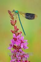 Banded Demoiselle ( Calopteryx splendens ) stock photo