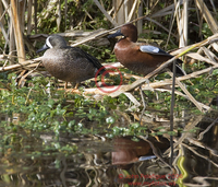 : Anas discors; Blue-winged Teal