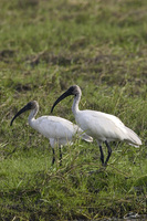 Threskiornis melanocephalus   Black-headed Ibis photo