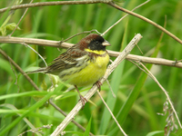 검은머리촉새 Emberiza aureola ornata | yellow-breasted bunting