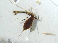Nepa cinerea - Water-scorpion