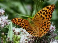 Argynnis paphia - Silver-washed Fritillary