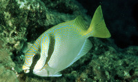 Siganus virgatus, Barhead spinefoot: fisheries, aquarium