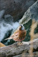 Leucosticte tephrocotis - Gray-crowned Rosy-finch