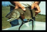 Image of: Salvelinus namaycush (lake trout), Petromyzon marinus (sea lamprey)