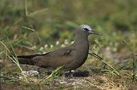 Brown Noddy (Anous stolidus) photo
