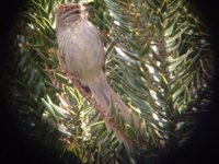 Striolated Tit-Spinetail - Leptasthenura striolata