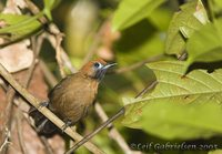 Fluffy-backed Tit-babbler - Macronous ptilosus