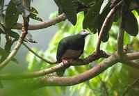 PINK-BELLIED IMPERIAL-PIGEON