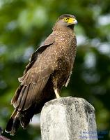Philippine Serpent-Eagle Spilornis holospilus Endemic
