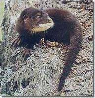 Hairy Nosed Otter (Lutra sumatrana)