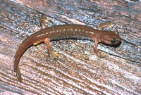 : Rhyacotriton olympicus; Olympic Torrent Salamander