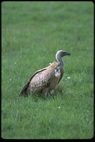 : Gyps coprotheres; Cape Griffon Vulture