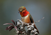 : Selasphorus sasin; Allen's Hummingbird