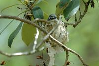: Vireo solitarius; Blue-headed Vireo