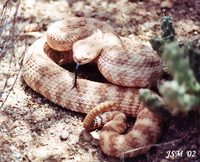 : Crotalus mitchelli; Southwestern Speckled Rattlesnake
