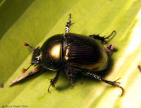: Geotrupes sp.; Dung Beetle