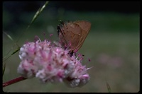 : Mitoura nelsoni; Nelson's hairstreak butterfly