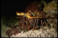 : Panulirus inflatus; Blue Spiny Lobster