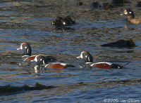 Harlequin Ducks back inside the bay. 1 October 2006. Photo by Jay Gilliam