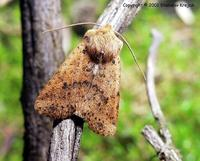 Conistra rubiginea - Dotted Chestnut