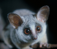 South African lesser bushbaby (Galago moholi)