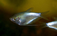 Trichogaster microlepis, Moonlight gourami: fisheries, aquarium