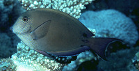 Acanthurus nigrofuscus, Brown surgeonfish: fisheries, aquarium