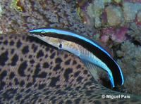 Labroides dimidiatus, Bluestreak cleaner wrasse: aquarium