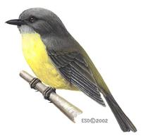 Image of: Eopsaltria australis (eastern yellow robin)