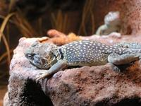 Crotaphytus collaris - Collared Lizard