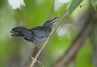 Fasciated Antshrike (Cymbilaimus lineatus) photo