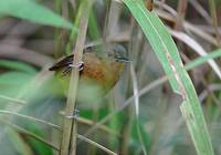Dusky Antbird (Cercomacra tyrannina) photo