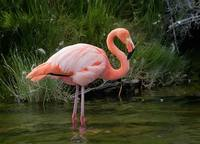 American Flamingo (Phoenicopterus roseus) photo