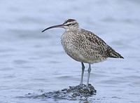 Whimbrel (Numenius phaeopus) photo