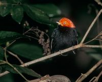 Red-capped Manakin (Pipra mentalis) photo
