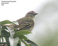Slender-footed Tyrannulet - Zimmerius gracilipes