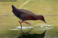 Ruddy-breasted Crake Porzana fusca, Punggol Grasslands, Singapore - 2005 © Paul Huang