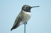 : Archilochus alexandri; Black-chinned Hummingbird