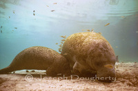 : Trichechus manatus; Manatee Cow And Calf