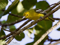 Common Iora Scientific name - Aegithina tiphia