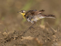 Yellow Wagtail Scientific name - Motacilla flava