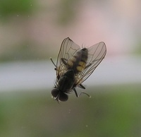 Fannia canicularis - Little House Fly