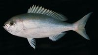 Paracaesio caerulea, Japanese snapper: fisheries