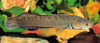 Channa orientalis, Walking snakehead: fisheries, aquarium